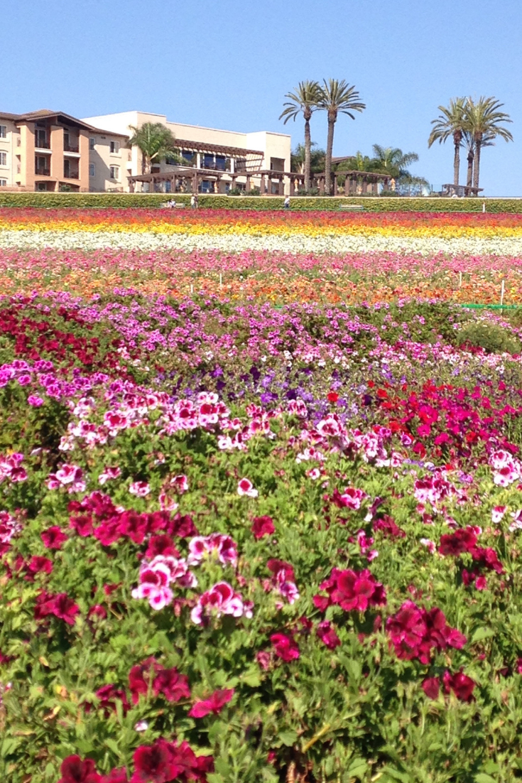 the flower fields carlsbad